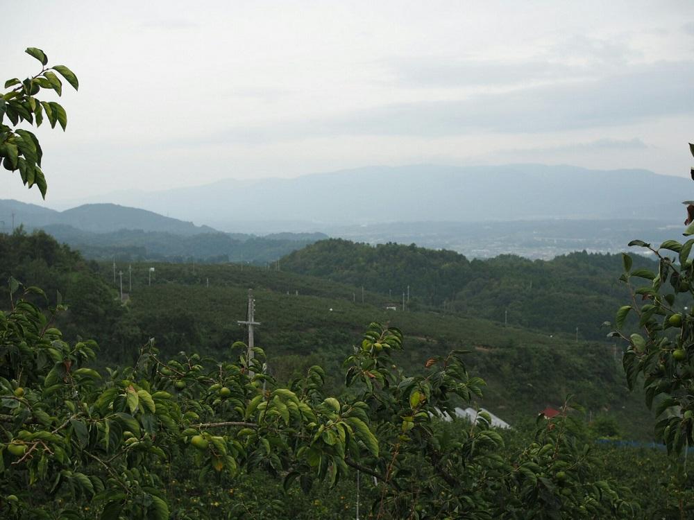 柿の圃場(保天山団地)